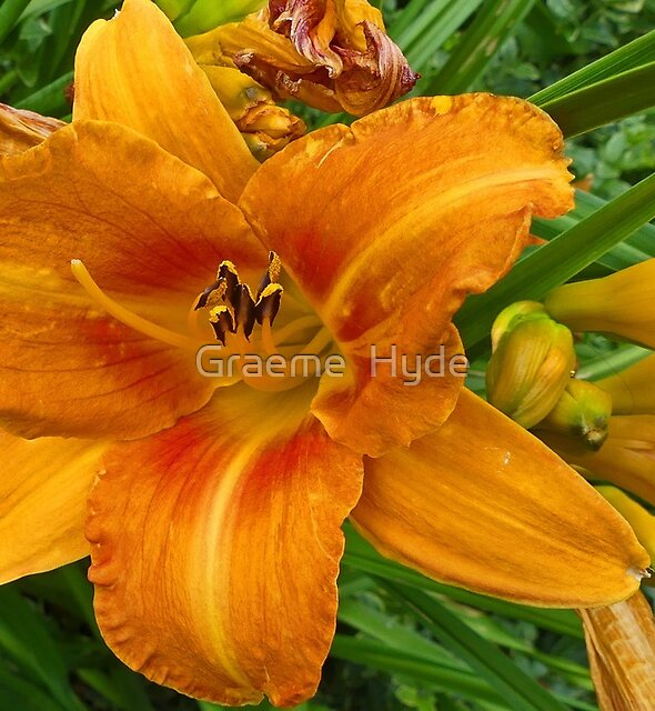 Irish Lily by Graeme  Hyde