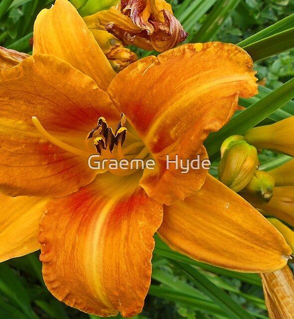 Irish Lily by Graeme  Hyde