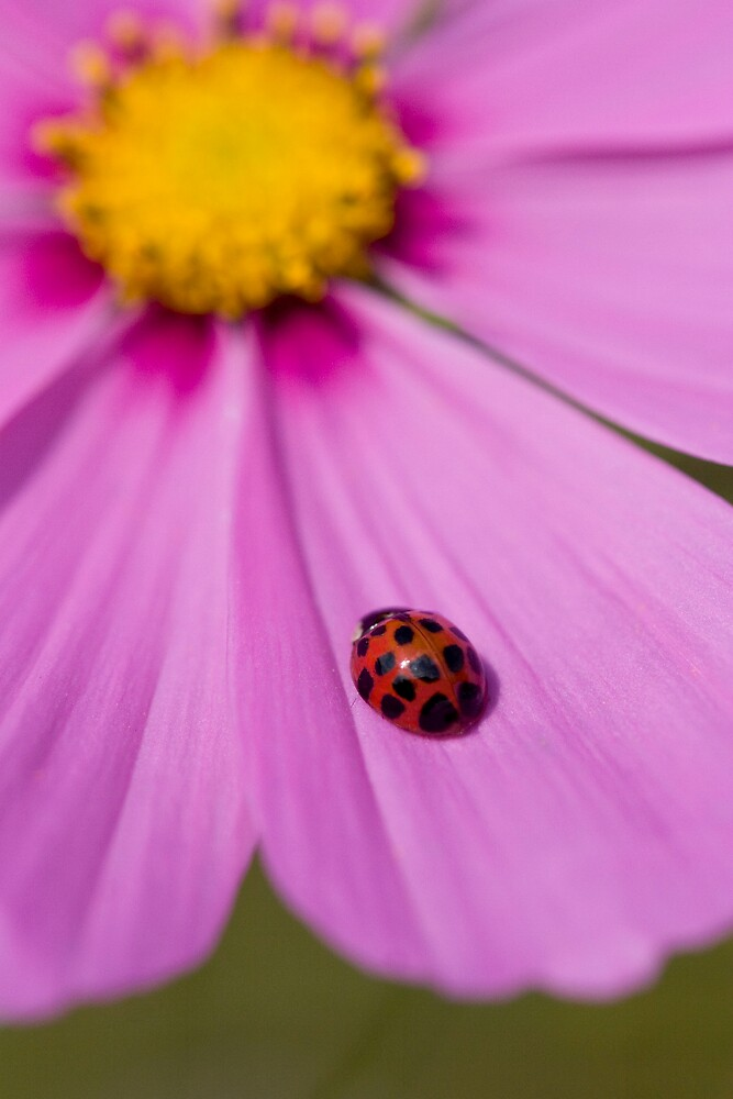 Ladybird on a Comos petal! by Carole Stevens