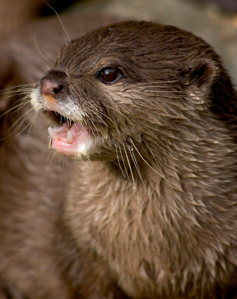 Short clawed otter! by Carole Stevens