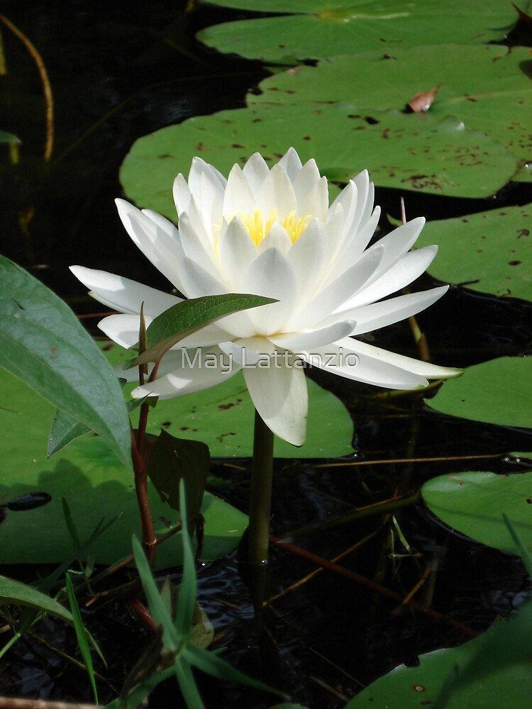 Nymphaea odorata by May Lattanzio
