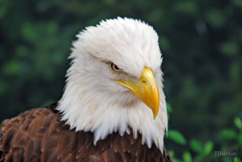 Eagle Looking Right by TBlanton