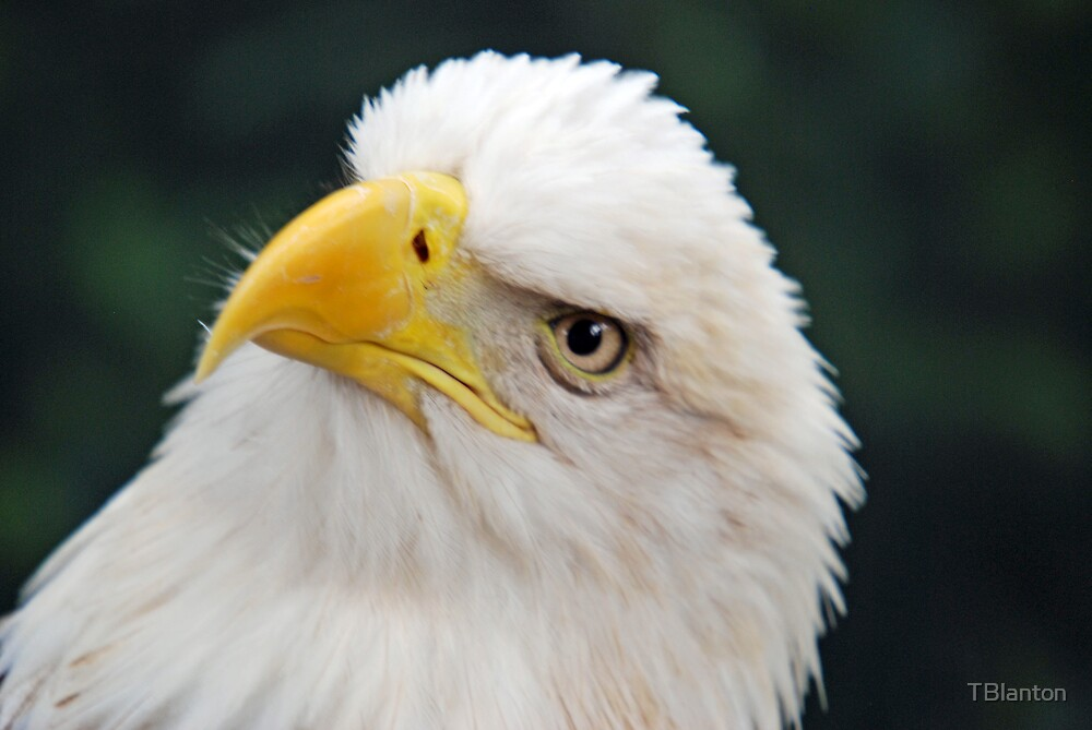 Eagle Looking Up by TBlanton