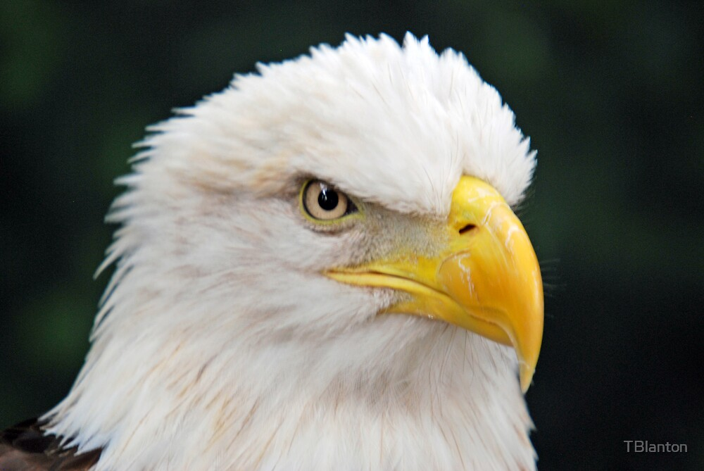 Eagle Head by TBlanton