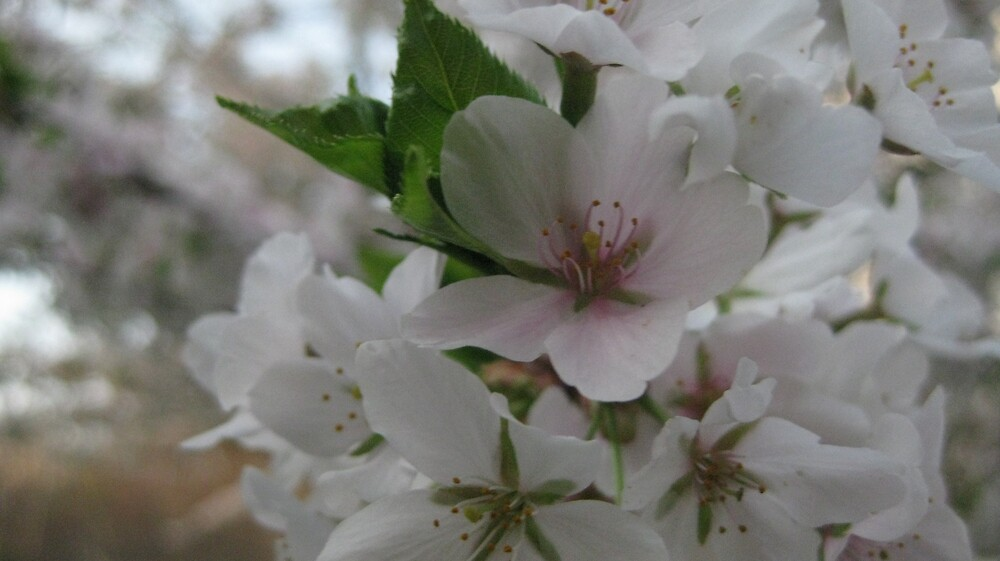 Cherry Blossom [2] by Francesca Coppola