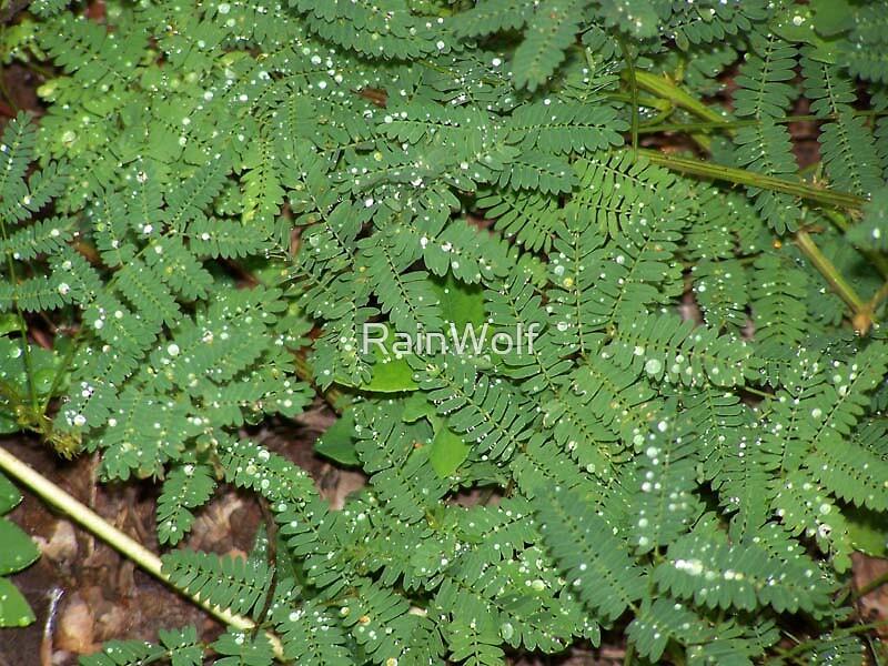 Dew Upon Ferns by RainWolf