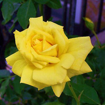 Yellow Rose by RainWolf
