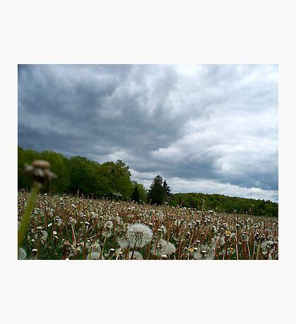 Fields of Dandelions / Dramatic  Sky  Photographic Print