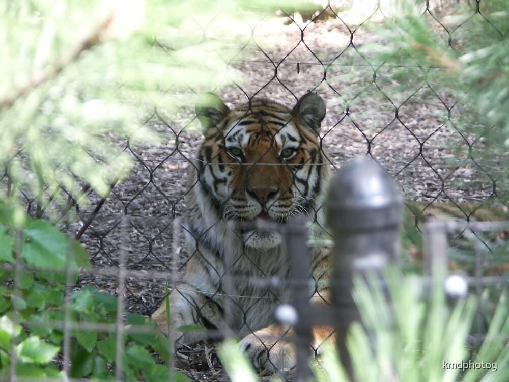 Sumatran Tiger IV by kmdphotog