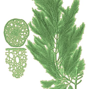 Botanical Kelp Print by encyclo-art