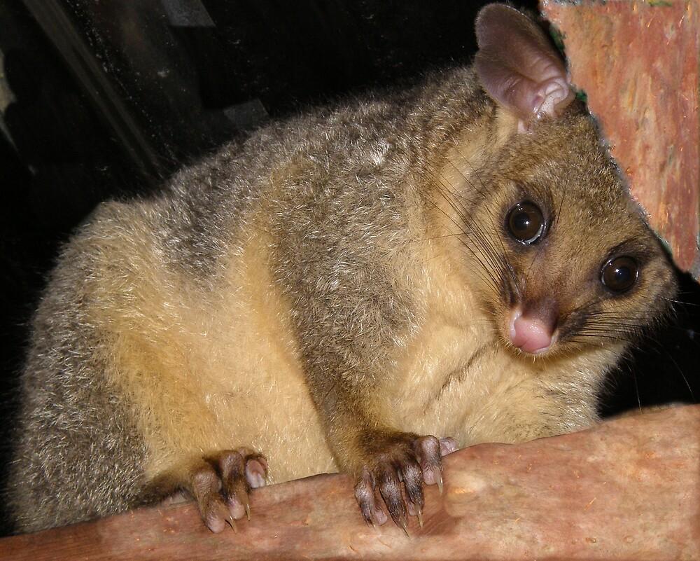 Possum by raymoore6160