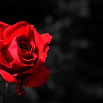 rote rose von Mows