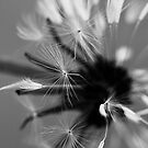 Wet dandelion by mausue