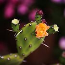 Prickly Pear Cactus Blooms  by shawntking