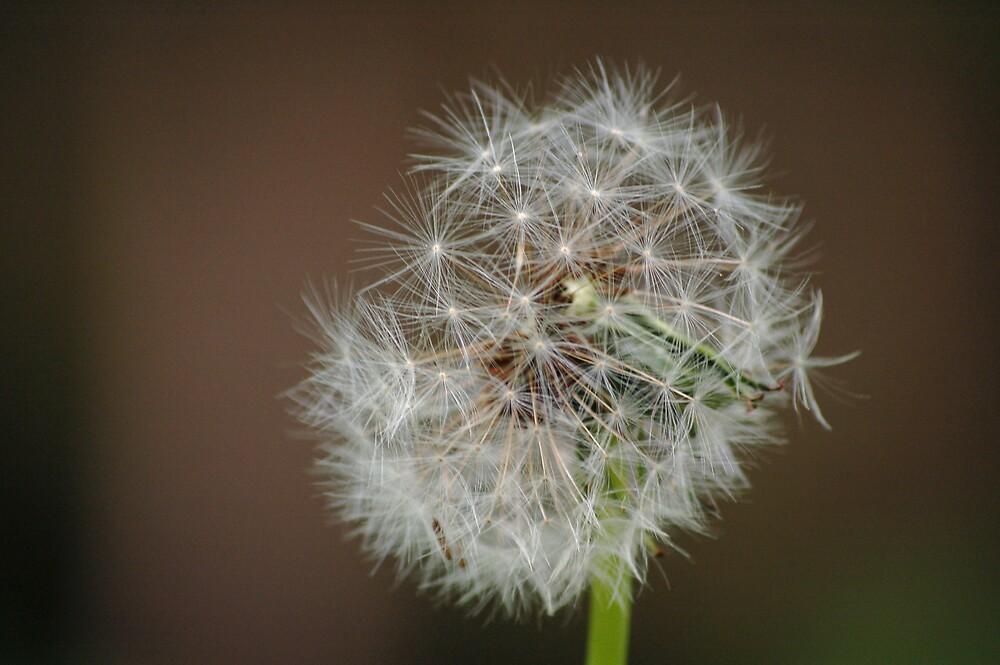 Dandelion by mfsphotography
