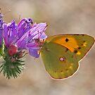 Viper's Bugloss & Butterfly by Robert Abraham