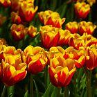 Tulips In The Sun by Béla Török