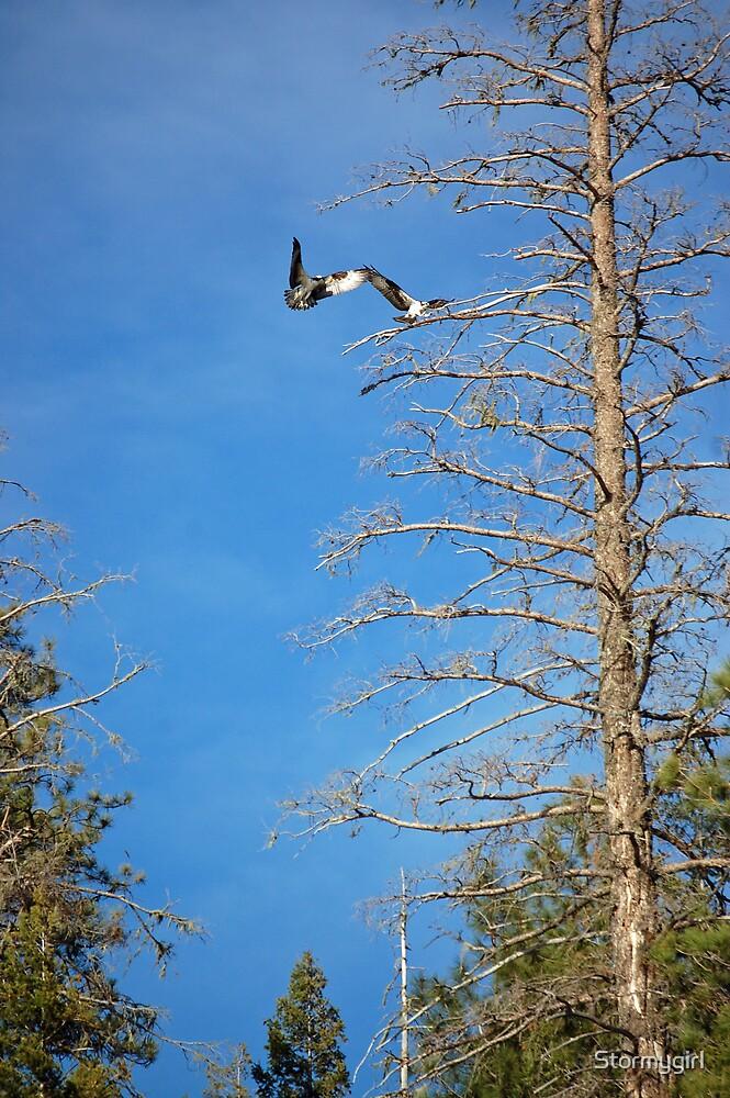Osprey Birds by Stormygirl