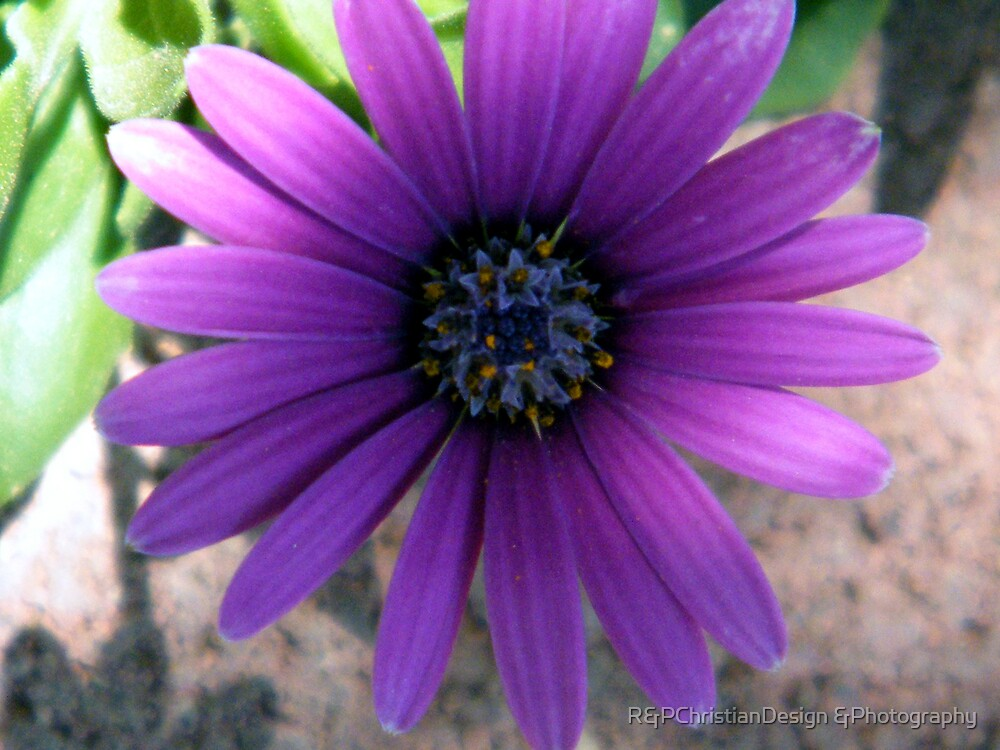 Purple Daisy by R&PChristianDesign &Photography