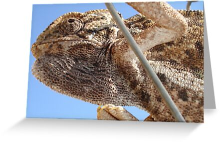 Close Up Of A Climbing Chameleon by taiche