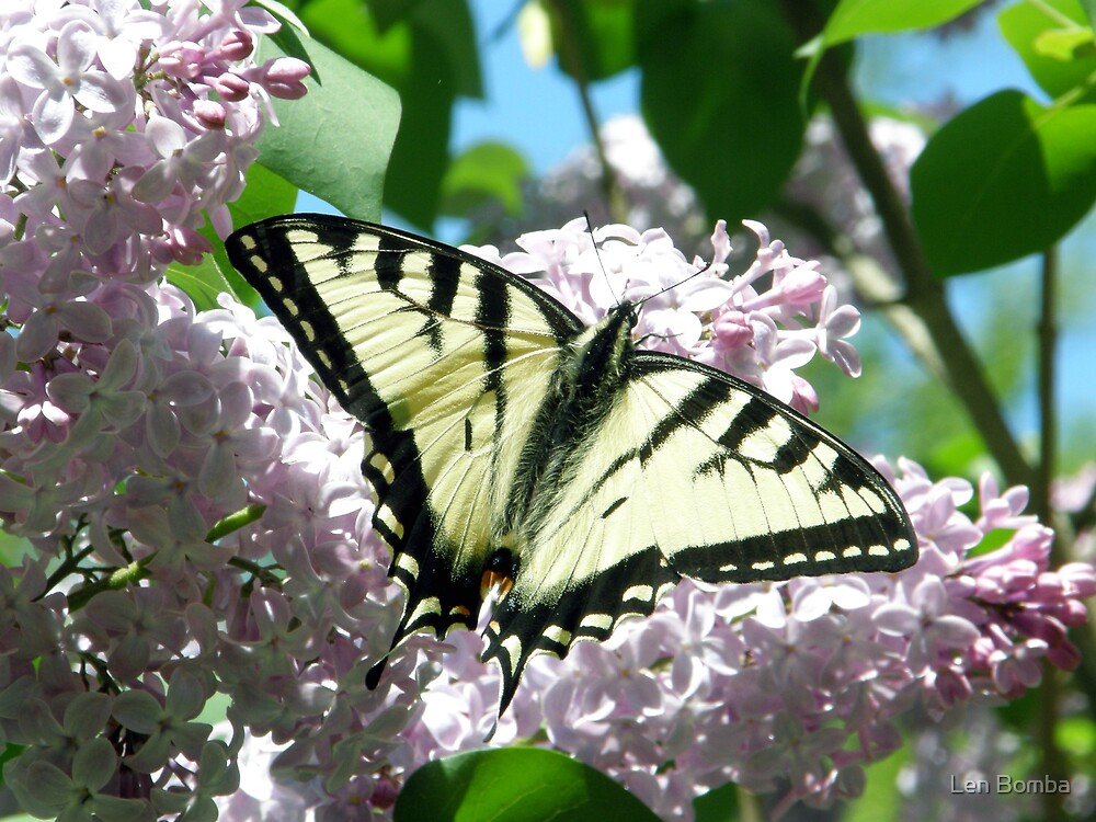 First Swallowtail of 2009 by Len Bomba