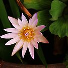Water lily by Diana Forgione
