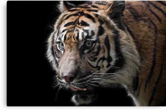 tiger eyes by Lisa Kenny