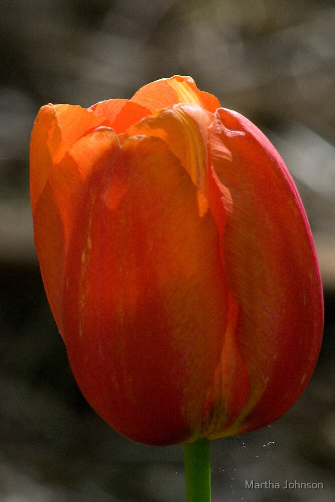Tulip 2 by Martha Johnson
