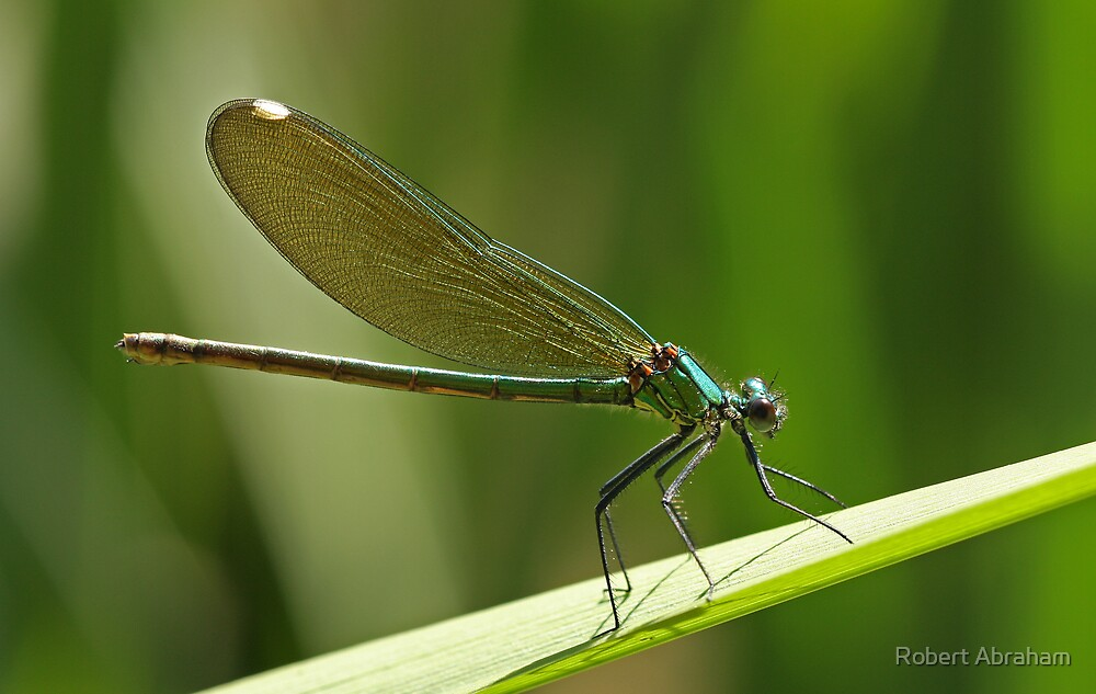 Female Banded Damselfly by Robert Abraham