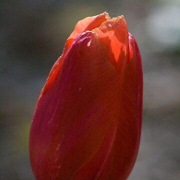 Tulip 3 by mlcltd