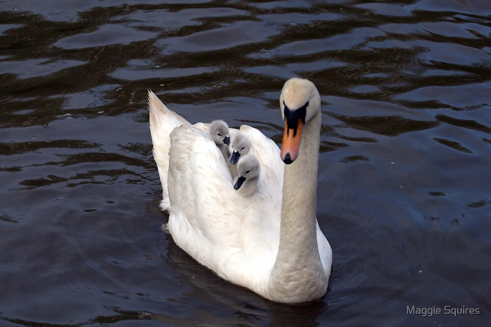 Swan  Carrying cygnets by Maggie Squires