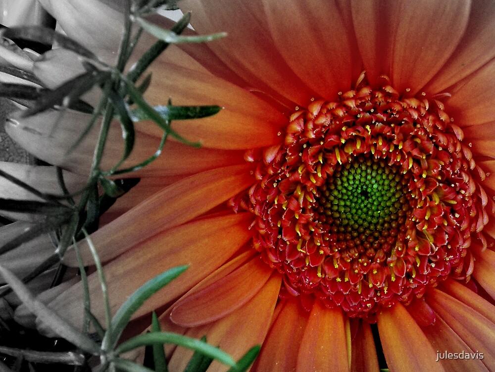 Orange Gerber Daisy by julesdavis