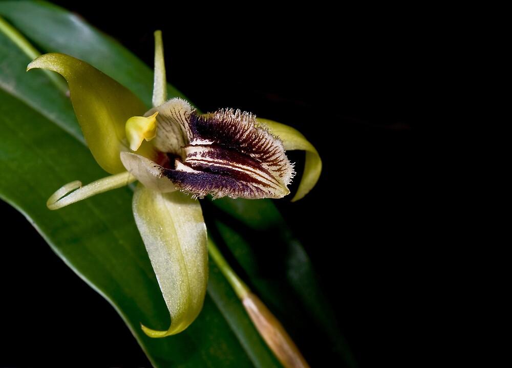 Orchid by Debbie Ryan