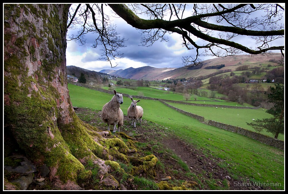 Sheep mugging! by Shaun Whiteman