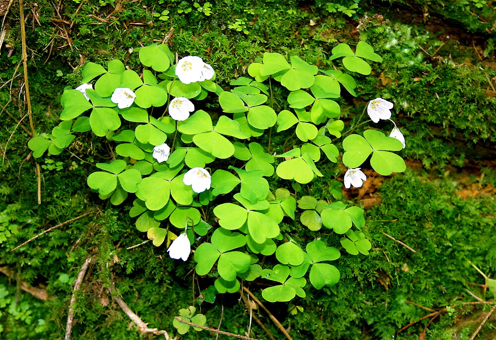 Wood Sorrel heart by Amanda Gazidis