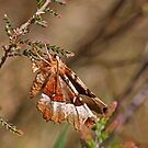 Purple Thorn Moth by kernuak