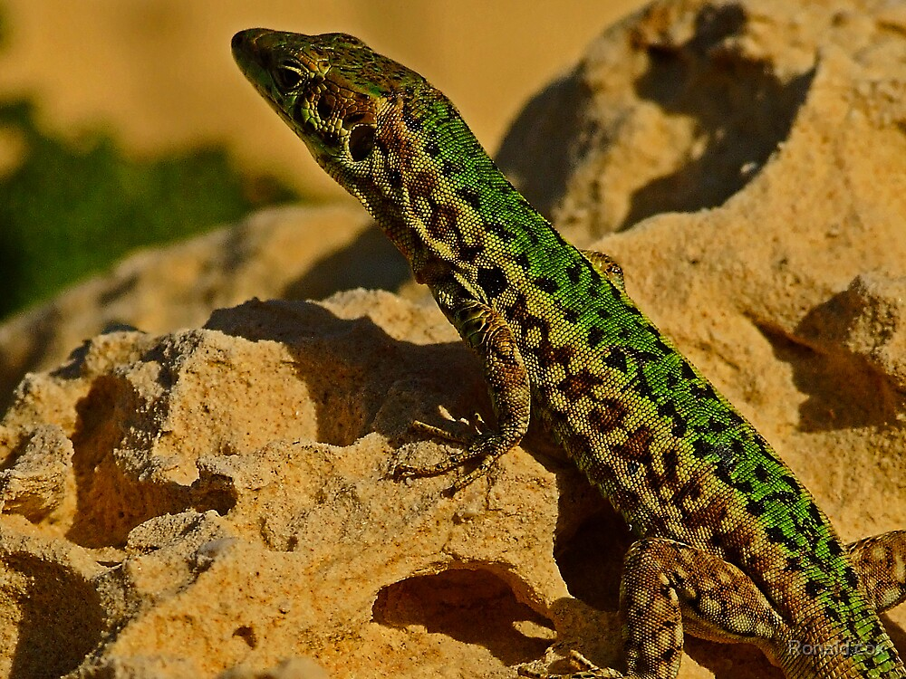 Wall Lizard  (1) by Ronald cox