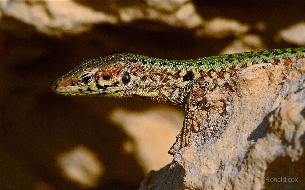 Wall Lizard  (2) by Ronald cox