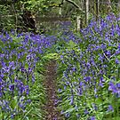 Bluebell Walk by Rob Lodge