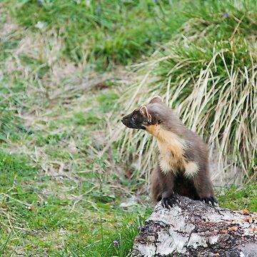 Pine Marten Lookout by kernuak