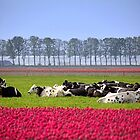 Cows and Tulips by Jo Nijenhuis