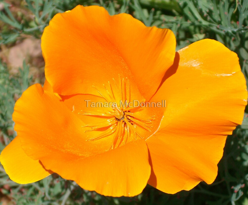Orange Poppy by Tamara Lindsey