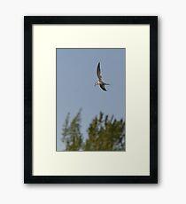 A Common Tern. Framed Print
