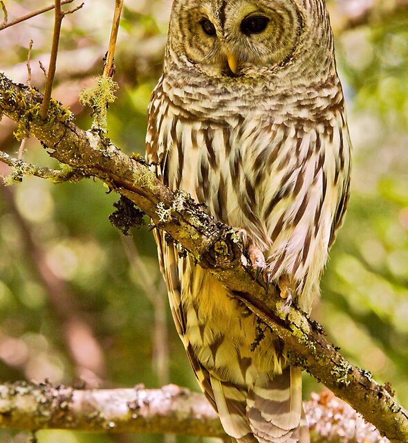 FEMALE BARRED OWL by Sandy Hill