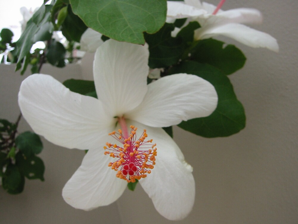 White Hibiscus by Quinton Smith
