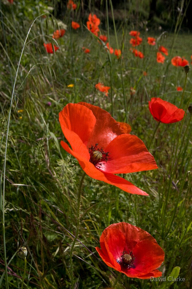 Poppies 1 by David Clarke