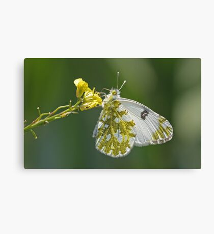Another Bath White Canvas Print