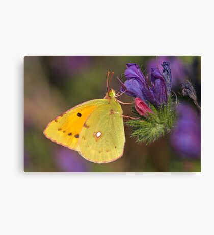 Clouded Yellow Close Up Canvas Print