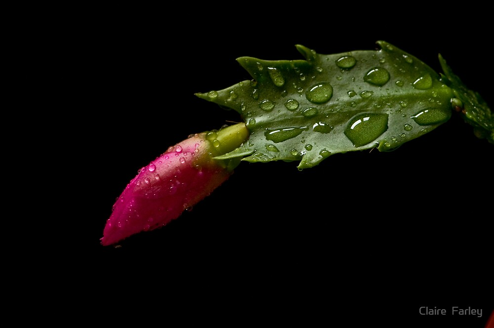 Zygocactus bud by Claire  Farley