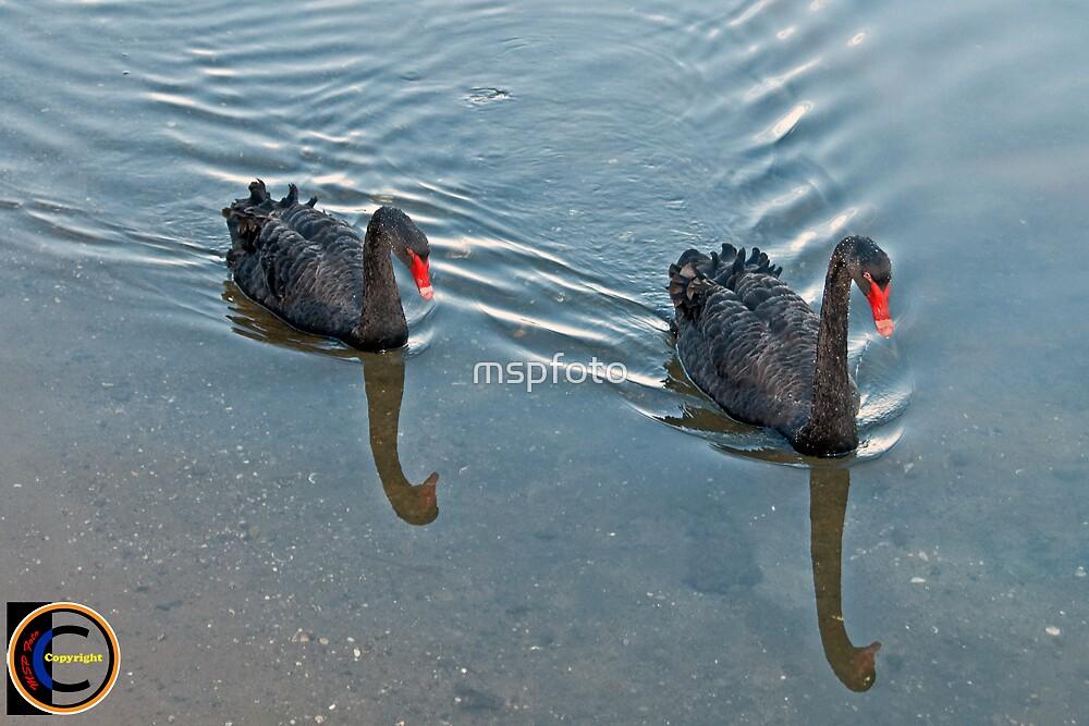Black Swans by mspfoto